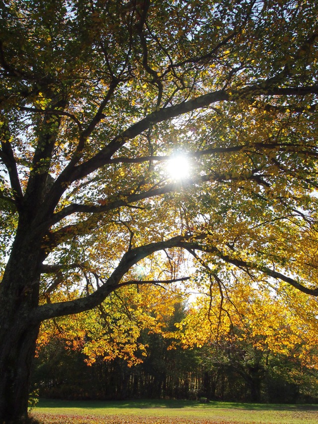 A golden tree and the rays of sunlight